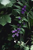 närbild av lila klockblommor