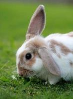 mini lop kanin