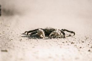 krabba på vit sand foto