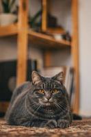 grå tabby katt foto