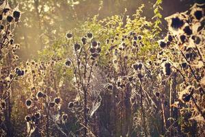 tistel med spindelnät foto
