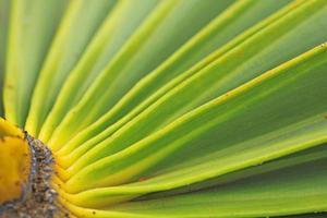 konsistens av grönt palmblad
