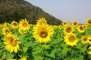 vackra solrosfält på sommaren