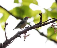 unga fågelung skarlakansröda blommor foto
