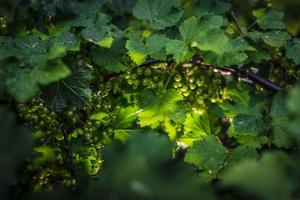 vinbär grön frukt foto
