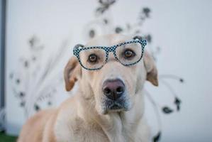 perro labrador retriever con gafas foto