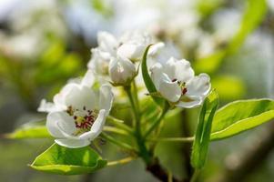 blommande päronfilial i trädgården foto