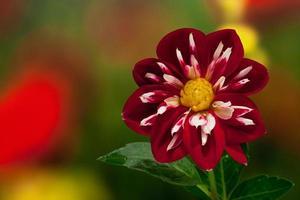 vacker vinröd blomma foto