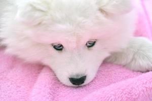 fluffig vit valp foto