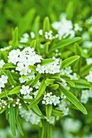 blommande trädbrunch med vita blommor foto