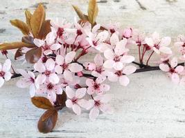rosa körsbärsblomning foto
