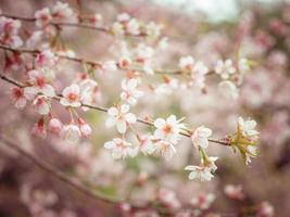 pastellfärger våren körsbär blommar himmel foto