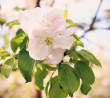 öm rosa äppelblomning på solig dag foto