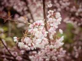 pastellfärger våren körsbär blommar himmel