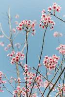 våren körsbär blommar foto