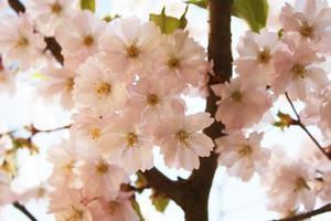 körsbärsblommor i full blom foto