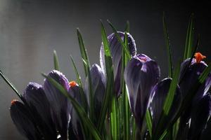 krokus på en svart bakgrund, vackra vårblommor, snödropp foto