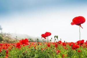 fält med vackra dekorativa röda vallmoblommor foto