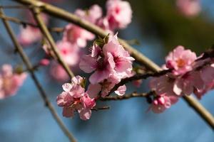 körsbärsblomma, sakura blommor foto
