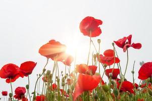 fält med en röd vallmo blommor i morgonsolljus foto