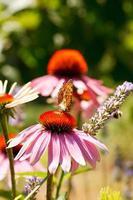 fjäril på echinacea blomma foto