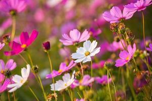 vackra rosa blommor närbild foto