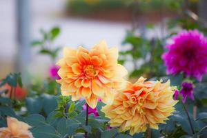 dahlia i trädgården foto