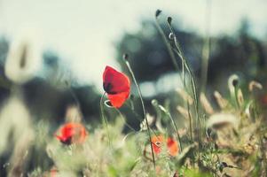 skogäng med röd vallmo och örter foto