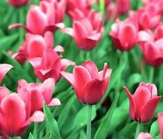 röd tulpan på våren foto