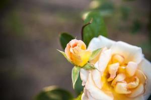 blomma te ros foto
