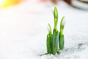 våren snödropp blommor kommer ut från snö med solstrålar foto