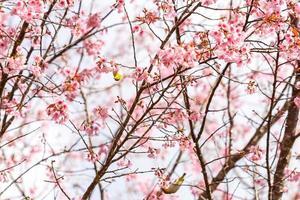 fågel på körsbärsblomning och sakura