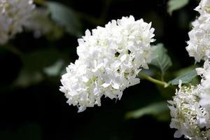 slät hortensia, vild hortensia eller sjubark (hortensia arborescens) foto