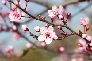 fruktarna blommar på våren foto