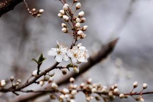 frukt blommar, våren foto