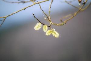 willow catkins foto