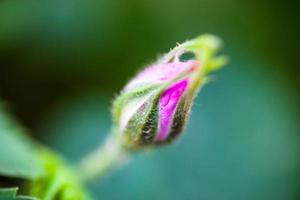 mjuk knopp av hundrosens rosa blomma foto