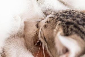 kattunge äter mjölk foto