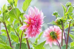 höstblommor dahlia i trädgården foto