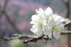 kinesiska plommonblommor som blommar. foto