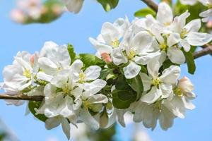 blommor av äppelträd på bakgrund med blå himmel foto