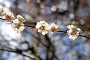 vacker blommande japansk körsbär - sakura foto