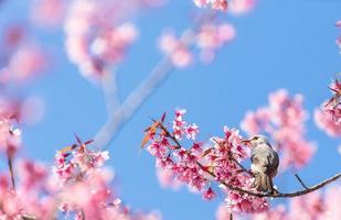 vithuvud bulbulfågel på kvist av sakura foto