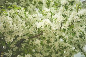 trädbrunch med vita vårblomningar foto