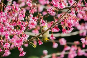vitöga fågel på körsbärsblomning och sakura foto