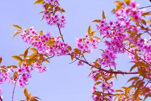 rosa sakura blommor foto
