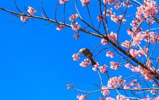 vithuvud bulbulfågel på kvist av sakura