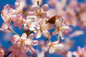 sakura blommor. foto