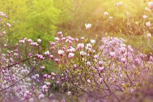 magnolia trädblomma foto