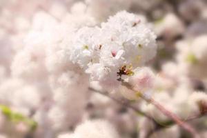 abstrakt mjuk och oskärpa vårens vita sakura foto